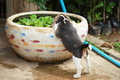 Strong purebred silver tri color beagle puppy in action