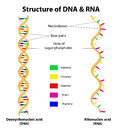 Structure DNA and RNA molecule. Vector Stock Images