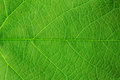 Structure of green leaf Royalty Free Stock Photo