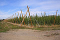 Structure for growing hops supported poles and wires and used to suspend and support Royalty Free Stock Photo