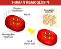 Structure of human hemoglobin molecule vector diagram is the substance in red blood cells that carries oxygen Royalty Free Stock Photos