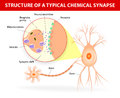 Structure of a typical chemical synapse neurotransmitter release mechanisms neurotransmitters are packaged into synaptic vesicles Stock Images