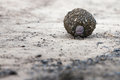 Struggle dung beetle struggling to push his prize up a hill Stock Image