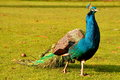 Strutting Male Peacock Royalty Free Stock Photography