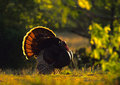 Strutting Wild Turkey Backlit Stock Images