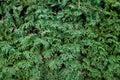 Struttura degli aghi dell'albero di abete Fotografia Stock