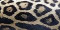 Struttura della pelliccia di jaguar Fotografia Stock