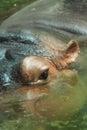 Strzelający w górę wody oko zamknięty hipopotam s Obraz Stock
