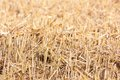 Stubble close up of mowed corn field Stock Photo