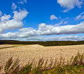 Stubble con field in country Stock Photography