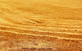 Stubble field in sunny summer day Royalty Free Stock Photo