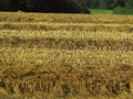 Stubble remaining from a recently harvested field Royalty Free Stock Image
