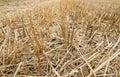 Stubble of wheat