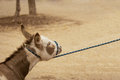 Stubborn donkey Royalty Free Stock Photo