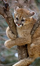 Stuck - Cougar (Felis Concolor) Stock Images
