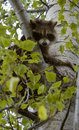 Stuck Raccoon (Procyon lotor) Royalty Free Stock Photo