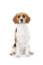 Studio Portrait Of Beagle Dog ...
