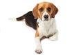 Studio Portrait Of Beagle Dog Lying Against White Background Royalty Free Stock Photo