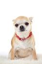 Studio Portrait Of Chihuahua D...