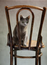 Studio portrait elegant beautiful purebred russian blue cat antique wooden chair Stock Image