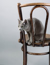 Studio portrait elegant beautiful purebred russian blue cat antique wooden chair Royalty Free Stock Photos