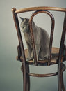 Studio portrait elegant beautiful purebred russian blue cat antique wooden chair Royalty Free Stock Images