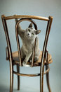 Studio portrait elegant beautiful purebred russian blue cat antique wooden chair Stock Photography