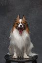 Studio portrait of a small yawning puppy Papillon