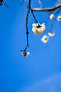 Studio shot of apricot blossom brunch over blue Royalty Free Stock Photo