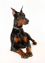 Studio shot of dobermann pinscher dog facing the camera Royalty Free Stock Photos