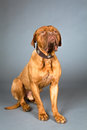 Studio Shot of Sitting Dogue de Bordeaux in Collar Stock Images