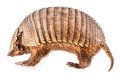Stuffed Armadillo Royalty Free Stock Photo