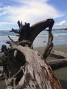 Stump at beach Vancouver Island Canada Royalty Free Stock Photo
