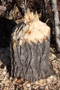 Stump cut by beaver Stock Images