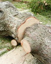 Stump of a freshly cut tree Royalty Free Stock Images