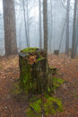 Stump in a misty forest blue mist Royalty Free Stock Photos