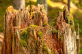 Stump with moss in forest Royalty Free Stock Photography