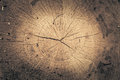 Stump of oak tree felled - section of the trunk with annual rings. Slice wood. Royalty Free Stock Photo