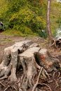 Stump at Plitvice Lakes National Park in Croatia Royalty Free Stock Photo
