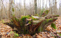 Stump in the woods Royalty Free Stock Photography