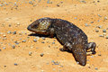 Stumpy tailed lizards tiliqua rugosa abound in rural australia Stock Image