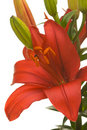 Stunning Asiatic Lily Bloom Stock Image