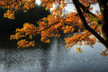 Stunning backlit autumn golden tree with lake in background beautiful front of Stock Photography