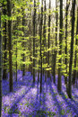 Stunning bluebell flowers in Spring forest landscape Royalty Free Stock Photo