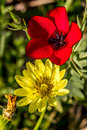 Stunning early morning closeup shot of a brilliant red drummond phlox i think and a texas dandelion pyrrhopappus multicaulis Royalty Free Stock Photo