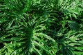Stunning Exotic Vibrant Large Serrated Leaves of Philodendron Hope Selloum Tropical Ornamental