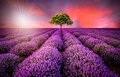 Stunning landscape with lavender field at sunset Royalty Free Stock Photo
