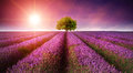 Stunning lavender field landscape Summer sunset with single tree Royalty Free Stock Photo