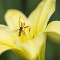 Stunning macro close up of common wasp insect on trumpet lily fl