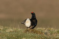 A stunning male Black Grouse Tetrao tetrix displaying to the females. Royalty Free Stock Photo